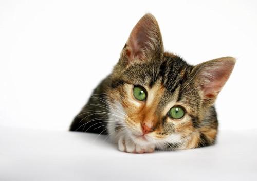 手の上に顎を乗せてこちらを見ている猫