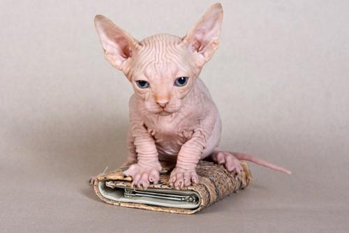 カードケースの上に乗ったスフィンクスの子猫