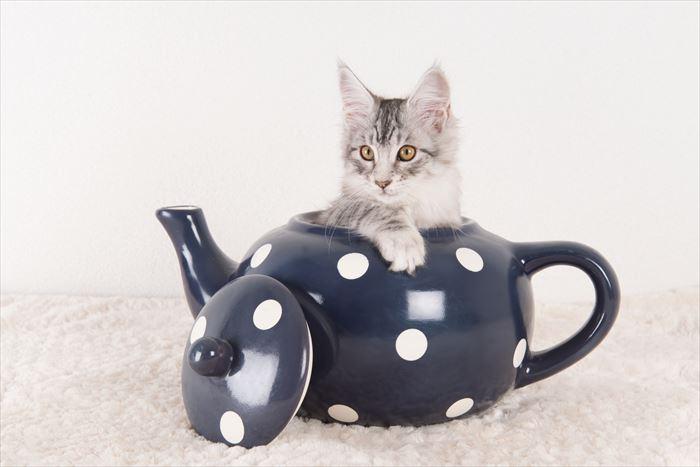 ポットの中のメインクーンの子猫