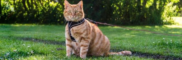 #リードの付いた猫#