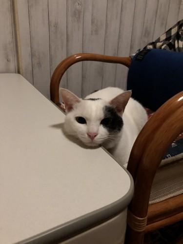 テーブルに顎をのせる猫