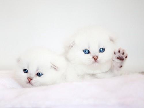 キトンブルーの白い二匹の子猫