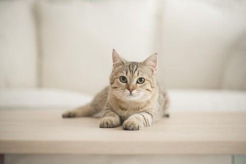 テーブルの上からこちらを見る猫