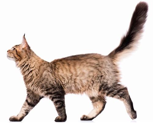 しっぽを上げながら歩く猫