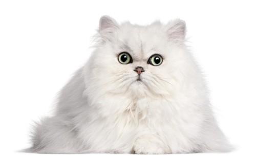 正面を向くペルシャ猫