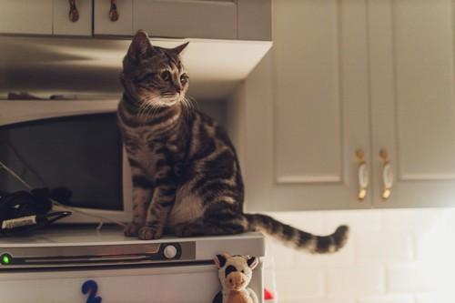 暗いキッチンにいる猫