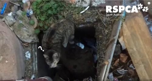 排水口に入ろうとする猫