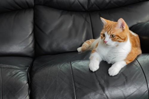 黒いソファーに乗る猫