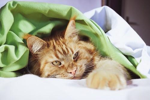 布団に入っている猫