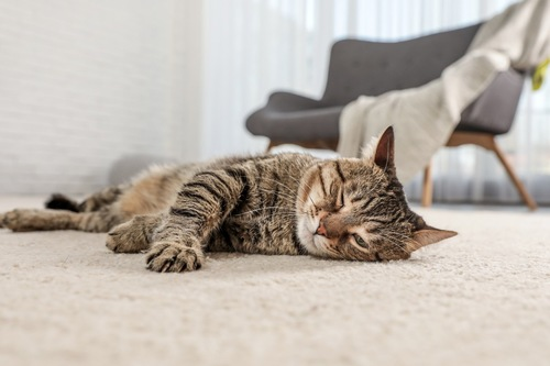 部屋に寝そべる猫