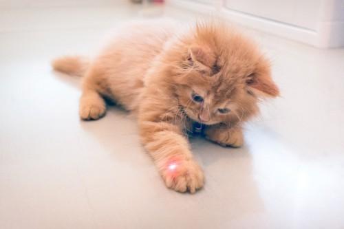 ポインターで遊ぶ猫