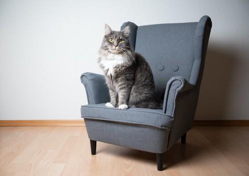 ソファに座っているメインクーン