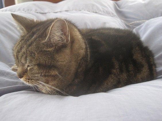 ベッドで布団に乗って寝ている猫