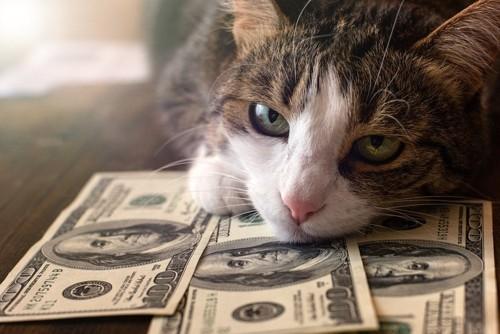 ドル札に顎乗せする猫