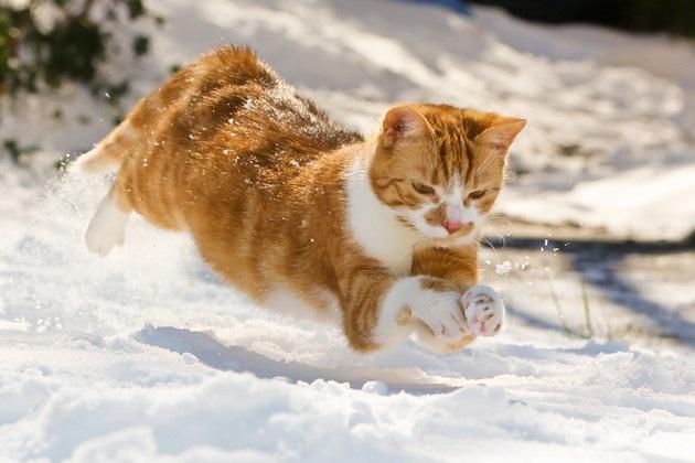 雪の中で狩りをする猫