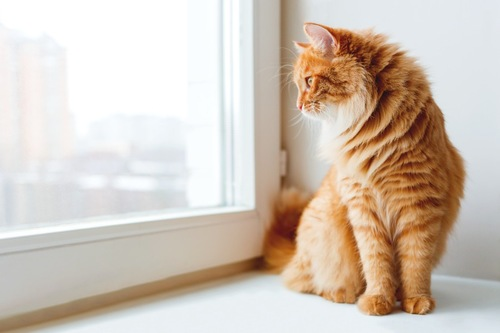 窓の外を眺めている茶トラ猫