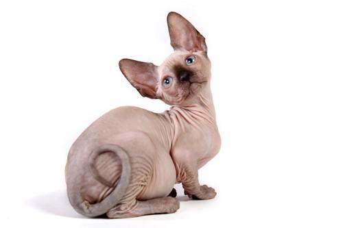 首をかしげて振り返るスフィンクスの子猫