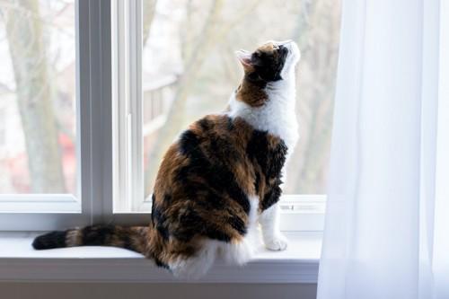 窓辺に座ってカーテンの上の方を見る猫