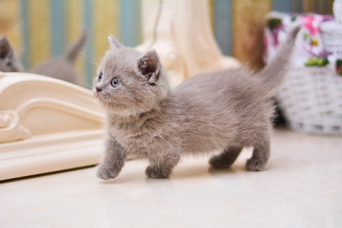 部屋を歩くマンチカンの子猫