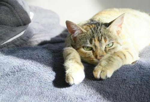 両手を伸ばして休む猫