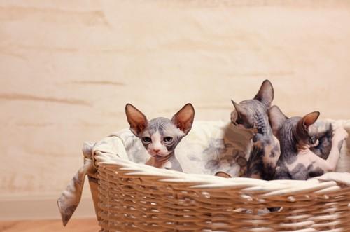 カゴに入った3匹の無毛猫