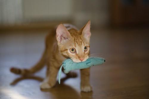 おもちゃを銜えた猫
