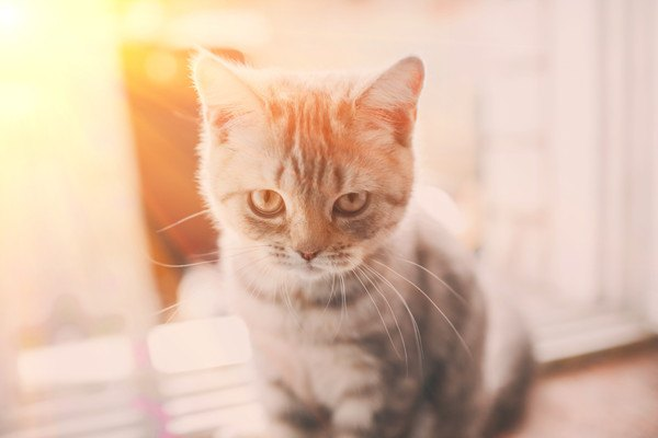 光の中で見つめるキジ猫