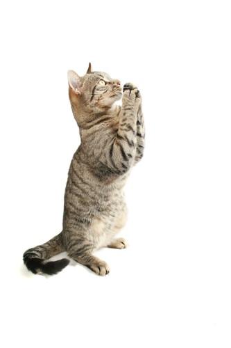 立ち上がって両手を合わせる猫