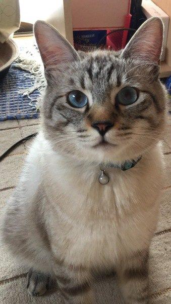 座ってこちらを見るブルーの瞳の猫