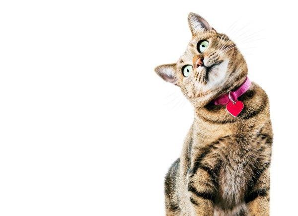 赤い首輪をしたキジ猫