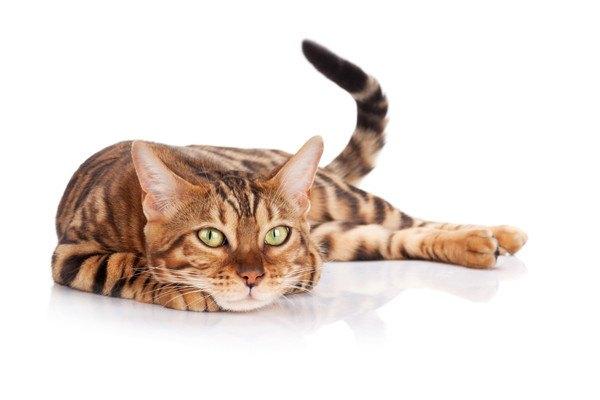 伏せるベンガル猫