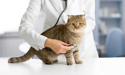 白衣の獣医と診察される猫