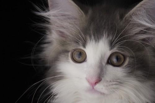 じっと前を見ている子猫