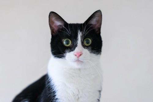 こちらを見つめる大きな瞳のハチワレ猫