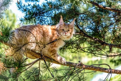 木の上から下を見ているメインクーン