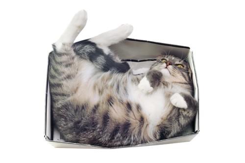 箱に無理やり入る猫