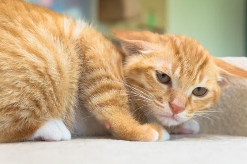 姿勢を低くして耳を倒す猫