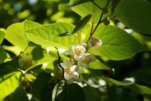 花が咲いているマタタビの木