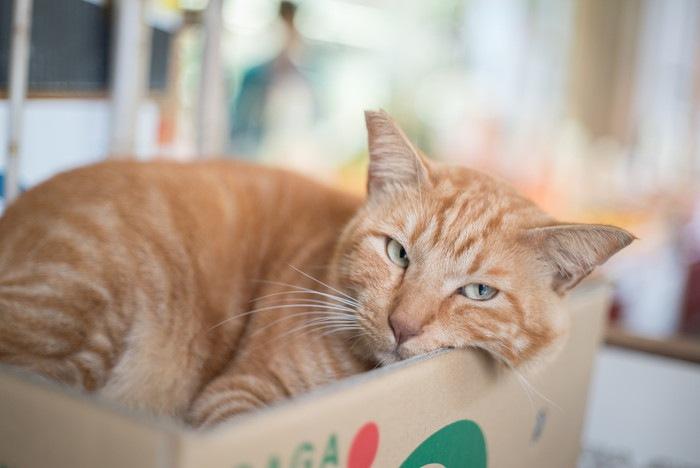 ダンボールの中でくつろぐ猫