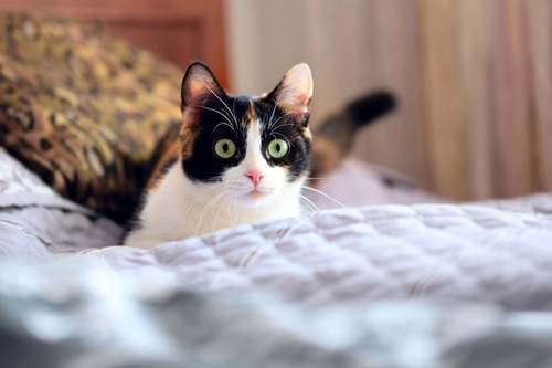 目を丸くしてベッドの上にいるハチワレ猫
