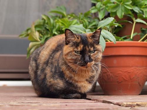 丸まるサビ猫ふ