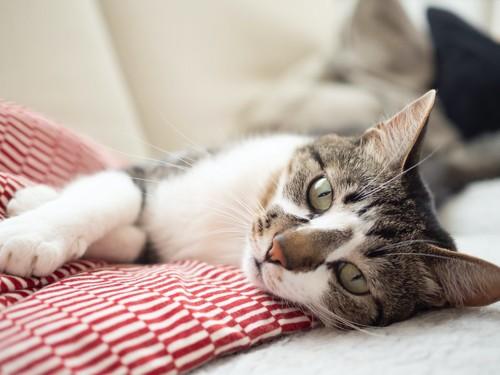 ソファーに寝転んでいる猫