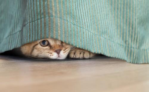 カーテンの下から顔を覗かせる猫