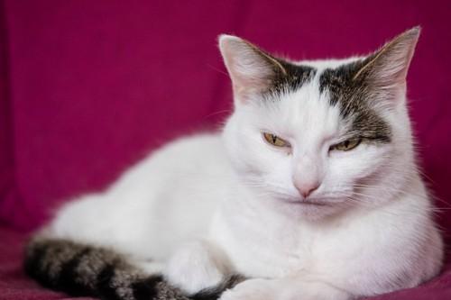 不機嫌そうに口を閉じている白い猫