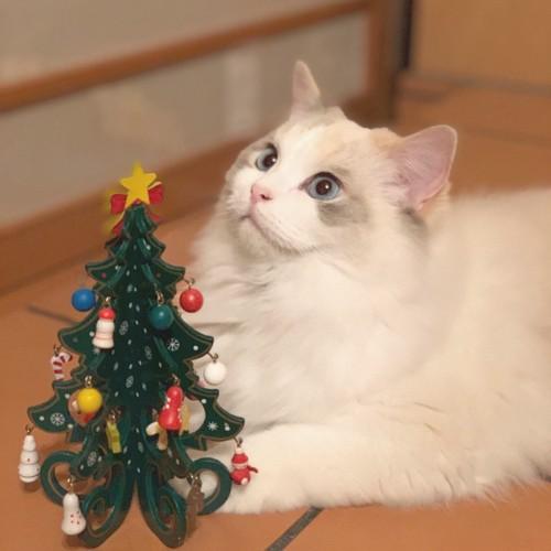 クリスマスツリーとラグドール