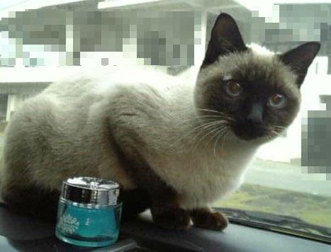 ダッシュボードにも乗る猫