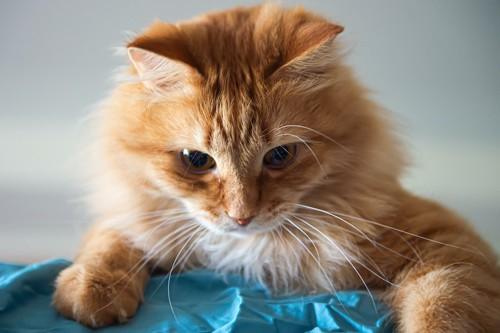 下をのぞく茶色い猫