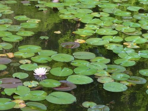 蓮の咲く池