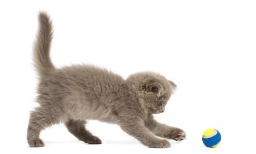 ボールを追いかける子猫