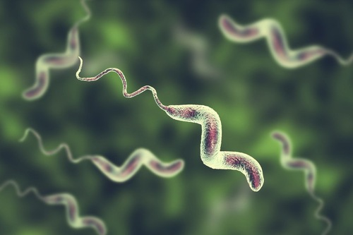 カンピロバクターの菌